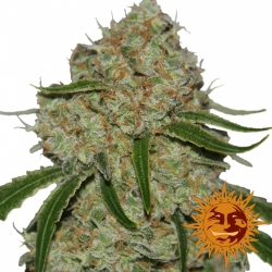 Barney´s Farm Phantom OG
